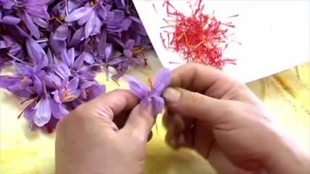 Las jornadas de esbrine del azafrán nacieron en Monreal hace 29 años (Foto: Televisión de Aragón)